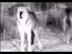 Οι λύκοι έχουν περισσότερες από 2.000 διαφορετικές «διαλέκτους» | Δασαρχείο