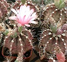 Gymnocalycium mihanovichii friedrichii Common Name 	Plaid Cactus
