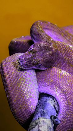 Purple snake wallpaper by georgekev - 38 - Free on ZEDGE™ Pretty Snakes, Cool Snakes, Colorful Snakes, Beautiful Snakes, Colorful Animals, Cute Animals, Snake Wallpaper, Purple Wallpaper, Animal Wallpaper