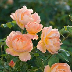 The Lark Ascending   English Rose - bred by David Austin  Shrub Rose