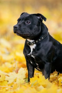 Black dog in autumn leaves Golden Retriever Labrador, Golden Retrievers, Family Dogs, Autumn Leaves, Labradors, Gallery, Black, Cats, Funny
