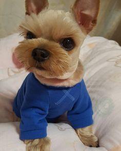 엄만 더 맛있는거 먹어? (카스..) . #yorkshireterrier #yorkie #yorkies #yorkilove #yorkisofinstagram #doglife #dog #dogsofinstagram #cute #요크셔테리어 #요키 #요키스타그램 #반려견 #개아들 #감 #땡감 #사랑해 by ttangam2