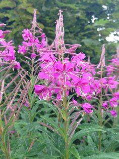 Fireweed, 'Rosebay Willowherb'