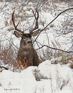 Mule deer in winter. Deer Pictures, Animal Pictures, Deer Pics, Beautiful Creatures, Animals Beautiful, Mule Deer Buck, Deer Family, Oh Deer, Mundo Animal