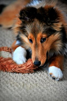 Sirona Shetland Sheepdogs - Home (pinner note: my heart is melting)