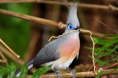 CRESTED COUA Coua cristata ©giuss95 The Crested Coua, Coua cristata, is a medium-sized, approximately 44cm long, greenish-grey coua with grey crest, blue bare orbital skin, rufous breast, brown iris, black bill and legs, white belly and long...
