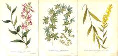 Botanical Prints, Set of 3, Ivy, Golden Rod, Cardinal Flower, Antique Prints, Hand Colored, 1851 by IntaglioPrintsMaps on Etsy