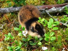 Sign Petition: Save the Fjeld Lemming in Finland to keep the circumstances rigt for the Fjeld Lemming, Act now! Animals And Pets, Cute Animals, Small Animals, Wild Animals, Wild Hamsters, Beneath The Sea, Interesting Animals, Rodents, Bushcraft