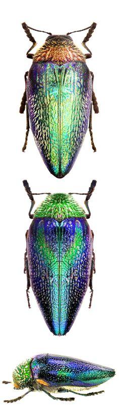 Sternocera pulchra; Sternocera pulchra fischeri