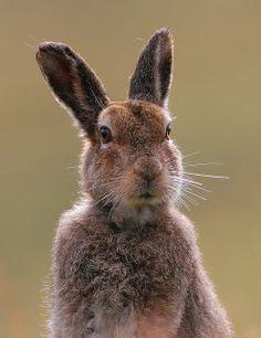 Mountain & Brown Hare