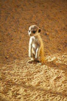Meerkat Pup by Missud (Michelle Bender) via Flickr. This photo was taken on October 11, 2010 in  Weis, Rhineland-Palatinate, DE, using a Canon EOS 500D.