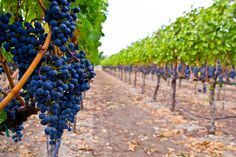 drink wine in Napa Valley