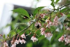 Styrax japonicus 'Pink Chimes' vertakte heester zeer elegante rose klokjesbloemen De hoogte na 10 jaar is 250 cm. De bloeiperiode is mei. Deze plant is zeer winterhard.