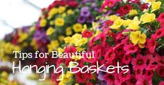 Getting hanging baskets ready for the year marks the beginning of gardening season for many home gardens. Use these tips to grow the biggest, brightest and most beautiful baskets that last throughout the...