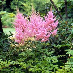 Superba Chinese astilbe  Astilbe chinensis taquetti is a large plant, growing to 4 feet tall. It bears magenta flowers in mid- to late summer on shiny, dark green leaves. Zones 4-8