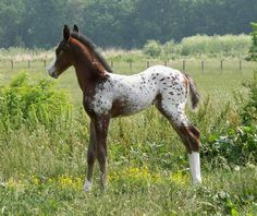 Palisades Appaloosas Standing, Nuggets Super Shado,1999 Leopard ...What a gorgeous baby horse.