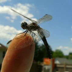 A dragonfly I saved from the pool. #dragonfly #insect #photography #insects