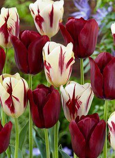 ภเгคк ค๓๏ Tulips, burgundy and cream with burgundy streaks