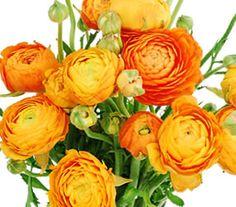 Ranunculus Wholesale Flowers: An Ideal Choice for Trendy Vintage Weddings on http://www.bellaweddingflowers.com/blog