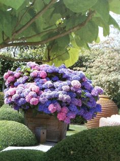 hydrangea plant in full bloom