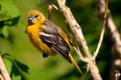 Baltimore Oriole female