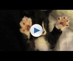 """This little baby was in my care much to my delight twice before being adopted out to a loving home. This was another attempt at capturing """"that"""" moment: I was foster caring for 3 kittens that have since been all been adopted out and this one learned """"that trick"""". As he was such a squeaky little boy we nicknamed him Squeaky..."""