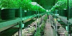 Is It True That Marijuana Native Aceh?