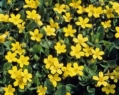 Best Flowering Dry Shade Perennials - Finding Sea Turtles Flowering dry shade perennials grow and thrive in conditions with less rainfall and Sun. Consider growing plants that don't mind shade and less rainfall. Yellow Flowers, Ground Cover, Shade Flowers, Plants That Attract Butterflies, Shade Perennials, Dry Shade Plants, Small Yellow Flowers, Perennials, Plants That Love Shade