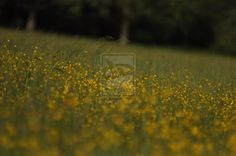 Field of yellow flowers champ by pixizone on deviantART