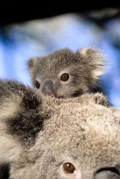 Cute koala joey and mom.