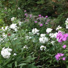 Fragrant phlox in garden Outdoor Plants, Perennials, Planting Flowers, Home And Garden, Gardens, Cottage, Pretty, Sun Plants, Outdoor Gardens