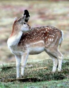 A Magpie sits on the head of a Fallow Deer - Rex Features