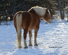 I'm sharing somerecent photos I took of a few of my favorite horses over at Sundown Shelter in Hugo, Minnesota. {JAEquinePhotography.com} #drafthorses This is Jed, the Belgian Draft rescue #horse.