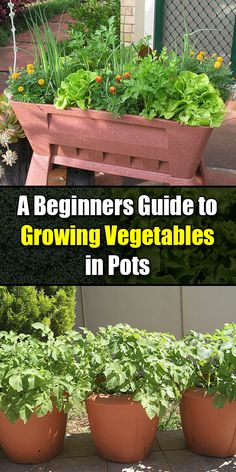 A Beginners Guide to Growing Vegetables in Pots – Golly Gee Gardening – Gardening for beginners and gardening ideas tips kids Growing Vegetables In Pots, Container Gardening Vegetables, Planting Vegetables, Growing Plants, Fresh Vegetables, Garden Container, Easy Vegetables To Grow, Hydroponic Growing, Grilled Vegetables