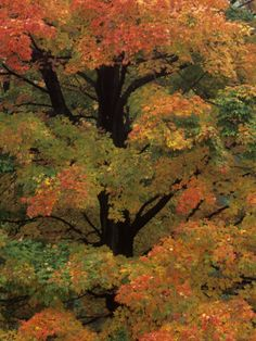 Maple Sugar Tree Changing to Fall Foliage (Acer Saccharum), North America Photographic Print