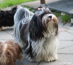 More On Toy Havanese Puppy Source by asimfloyd The post Havanese Ausgewachsen appeared first on Stubbs Training. Havanese Puppies, Dogs And Puppies, Doggies, Terrier Dogs, Terriers, Tibetan Terrier, Companion Dog, Puppy Care, Little Dogs