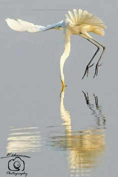 Great(?) Egret