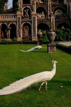 Beautiful white peacocks in the gardens on Isola Bella. I've been lucky enough to have visited this gorgeous little island near Stresa, Italy twice.