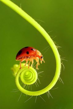 Fiddley Lady Bug! There is a strong curving line to the stem that is visible in a clockwise direction and spiraling around gradually reducing in size and off-set to the left bottom portion of the image.