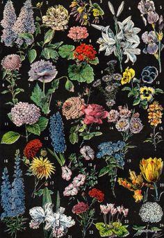 Chart of Flowers  Larousse Illustre.