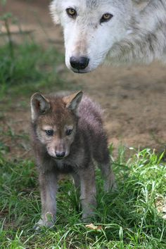 baby animals images | Baby Animals - Wolf pup with its mother. Longleats successful pack of ...