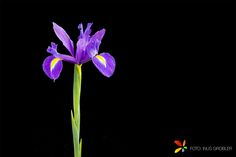 A purple Iris isolated on a black background.