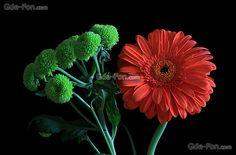 Descargar gratis Flores,  gerberas,  flora,  Macro Fondos de escritorio en la resolucin 4943x3247 — imagen №624947
