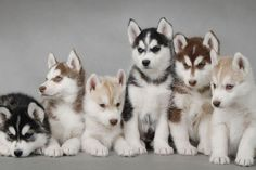 Well hello there babies 16 cute husky puppy pictures puppy pictures, cute puppies, creatures Cute Husky Puppies, Puppy Husky, Siberian Husky Puppies, Siberian Huskies, Huskies Puppies, Baby Huskies, Morkie Puppies, Rottweiler Puppies, Lab Puppies