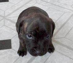 Staffordshire bull terrier puppy.