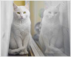 Playing with my camera & creating behind the lens is one of my favorite things to do.  I have a great appreciation for this photographer's perfect lighting & the reflection of this beautiful white cat.
