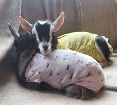 Snuggling Baby Goats dressed in onesies -- not something you see everyday, but very cute. Mini Goats, Cute Goats, Baby Goats, Zoo Animals, Animals And Pets, Funny Animals, Cute Animals, Goat Care, Raising Goats