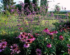Parsonage, ombersley, worcestershire: Border beside the parterre with verbena bonariensis and echinacea purpurea