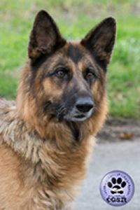 Central German Shepherd Rescue wishes Tess, a young 7 year old female German Shepherd best wishes in her adoption from CGSR. Female German Shepherd, German Shepherd Rescue, German Shepherds, United Kingdom, Fur, Friends, Animals, Amigos, Animales
