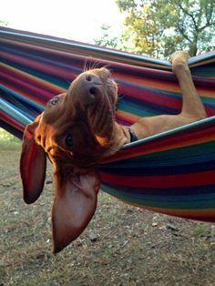 Yet another reason I love Vizsla Vizsla Puppies, Dogs And Puppies, Beagle, Vizsla Dog, Doggies, Weimaraner, I Love Dogs, Cute Dogs, Animals Beautiful